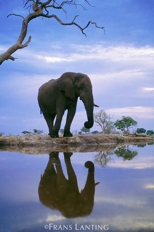 African elephant at waterhole, Loxodonta africana, Chobe National Park, Botswana