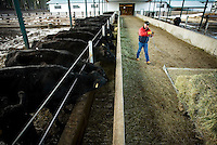 JEROME A. POLLOS/Press..Juggling a successful construction company and running a ranch requires early mornings and late evenings tending to cattle. Ron Rosenberger wakes most mornings to feed and inspect his cattle at first day break and then comes home at night to repeat the chores.