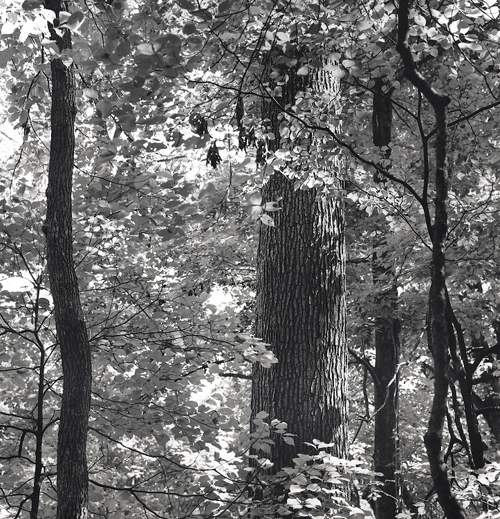 Belt Woods. Old Growth Forest in Prince Georges County, Mayland. 10x10, 15x15,24x24, 36x36, 48x48.