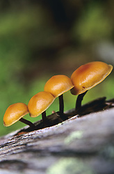 July 21, 2019 - Mushrooms Growing On Log (Credit Image: © Bilderbuch/Design Pics via ZUMA Wire)