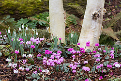 Cyclamen coum and snowdrops growing at the base of silver birch - Betula utilis var. jacquemontii