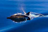A pod of Pacific White Sided Dolphins swimming in the Sea of Cortes near Puerto Escondido, Baja California Sur, Mexico