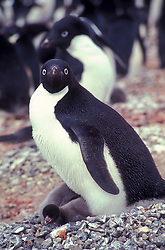 Antartida   1991.Pinguim Adelia e filhotes. O Pinguim de Adelia eh uma especie de pinguim que habita a Antartida. Eh uma das unicas especies que nidificam neste continente./ The Adelie Penguin (Pygoscelis adeliae) is, together with the Emperor Penguin, one of the only two types of penguin living on the Antarctic mainland..Foto © Adri Felden/Argosfoto