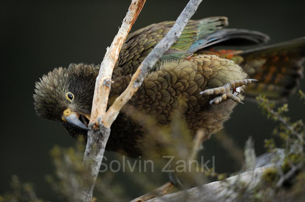 Kea (Nestor notabilis) fledgling (1. Sommer) Arthur's Pass, New Zealand | Kea oder Bergpapagei (Nestor notabilis) fledgling (1. Sommer) - Keas fressen Rinde. Die Vögel haben ein sehr vielfältiges Nahrungsspektrum. Arthur's Pass, Neuseeländische Alpen, Neuseeland.