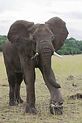African Elephant<br /> Loxodonta africana<br /> Young bull with snare on foot<br /> Masai Mara Conservancy, Kenya