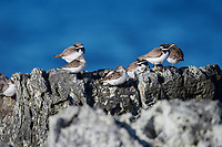 Mixed flock of Semipalmated Plover (Charadrius semipalmatus) and Semipalmated Sandpiper (Calidris pusilla) peched on rocks, Crescent Beach, Nova Scotia, Canada