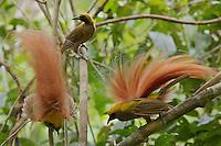 Goldie's Bird of Paradise.<br />Paradisaea decora