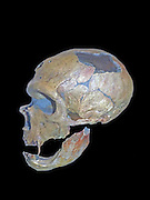 Skull of a neandertal, an extinct member of the Homo genus known from Pleistocene specimen found in Europe and parts of western and central Asia.  Genetic evidence suggests interbreeding took place with anatomically modern humans between roughly 80,000 years ago in the Middle East.