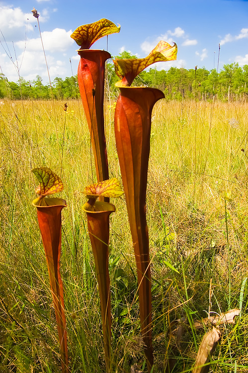 Huge Schnell's pitcher plants growing in the Apalachicola National Forest. These carnivorous plants grow in poor soil, and get what they can't get from the soil by trapping and digesting insects inside these long trumpet-like leaves, which are lured by a sweet-smelling nectar. They are absolutely incredible to see in the wild!