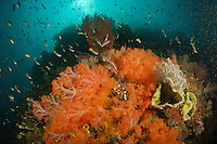 Rich soft coral and sea fan covered reefs team with fish life.<br /> Misool Island vicinity, near the smaller island of Wagmab.