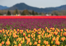 North America, United States, Washington, Mount Vernon, tulip fields in bloom at annual Skagit Valley Tulip Festival, held in April