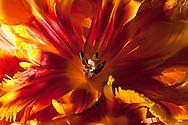 Parrot Tulip-856