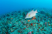A Hogfish, Lachnolaimus maximus, swims on a coral reef in northern Palm Beach County, Florida, United States. Sought for its tasty flesh, this species is overfished throughout most of its range in the tropical Atlantic, Caribbean and Gulf of Mexico. IUCN Redlist vulnerable