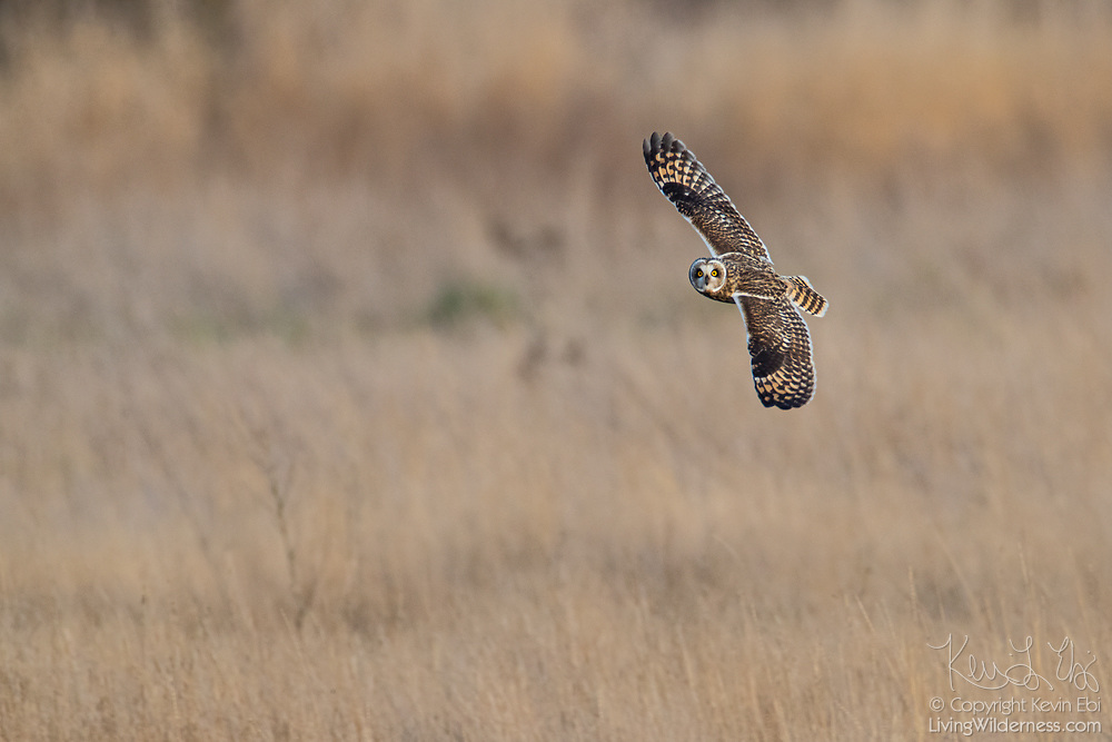 A Short-Eared Owl (Asio flammeus) flies over a field in the Skagit Valley of Washington state. The Short-Eared Owl was one of the widest distributions of any bird, found on all continents except Australia and Antarctica.