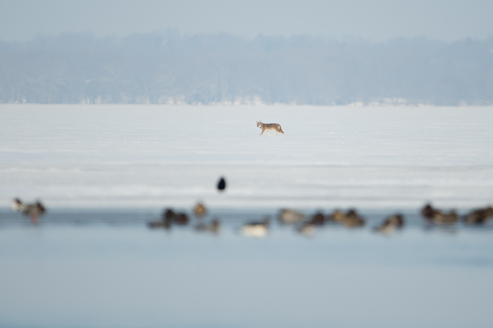 Coyote hunting the ice on Onondaga lake from one side to the other.