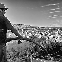 A migrant worker gives water to sheep on a hillside outside of Delano in Kern County in California's Central Valley, CA, Friday, Oct. 14, 2016. One of the worst droughts in California history officially ended this spring in all of the state's counties except Fresno, Kings, Tulare and Tuolumne. <br />