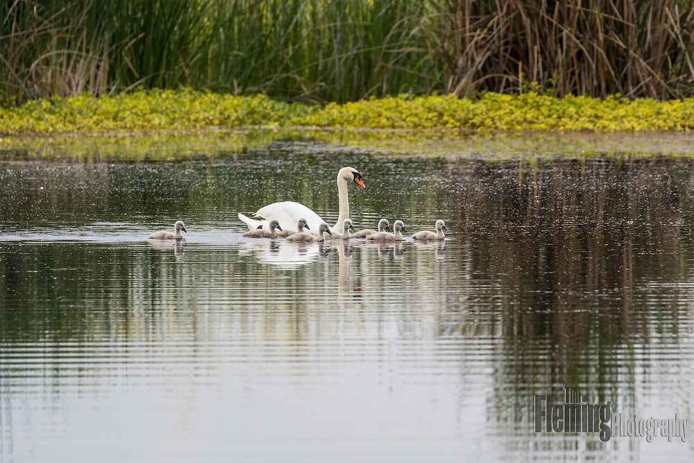 Mute swan parent with cygnets