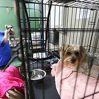 A dog wiats in a kennel for its turn on the grooming table.