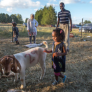 "DUMFRIES, VA - SEP12: Jude Elsanousi, 4, plays with goats and sheep at the Shah Farm in Dumfries, VA, September 12, 2016, as her parents Hanane and Mohamed look on. The animals  will be slaughtered in honor of Eid al-Adha, the ""Feast of the Sacrifice"". (Photo by Evelyn Hockstein/For The Washington Post)"