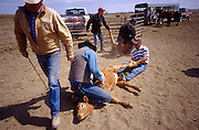 19 MAY 2002 - INGOMAR, MONTANA, USA: Reg Hoff, left, walks back to the branding fire after branding a calf on his ranch near Ingomar, MT, May 19, 2002. Ranches across Montana and the American west start branding their spring crop of calves in April and continue through May. This year's crop of calves is lower than in years past because of the drought gripping much of the west. Many ranches have moved to branding tables and chutes but the Hoff ranch still brands the traditional way by roping individual calves out of the herd. .PHOTO BY JACK KURTZ