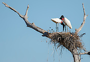 A pair of jabiru storks (Jabiru mycteria) nesting in Porto Jofre, Mato Grosso, Brazil.