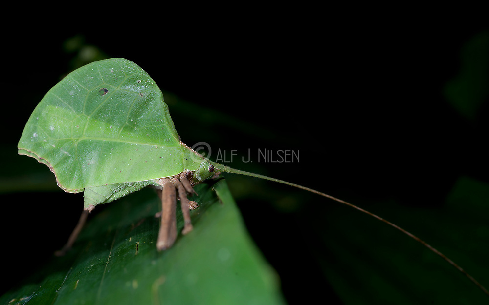 Leaf Katydid, possibly Cycloptera sp., from La Selva, Ecuador.