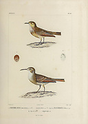 hand coloured sketch Top: Subspecies of Common Miner (Geositta cunicularia cunicularia [Here as Certhilauda cunicularia]) Bottom: Subspecies of Slender-billed Miner (Geositta tenuirostris tenuirostris [Here as Certhilauda tenuirostris]) From the book 'Voyage dans l'Amérique Méridionale' [Journey to South America: (Brazil, the eastern republic of Uruguay, the Argentine Republic, Patagonia, the republic of Chile, the republic of Bolivia, the republic of Peru), executed during the years 1826 - 1833] 4th volume Part 3 By: Orbigny, Alcide Dessalines d', d'Orbigny, 1802-1857; Montagne, Jean François Camille, 1784-1866; Martius, Karl Friedrich Philipp von, 1794-1868 Published Paris :Chez Pitois-Levrault et c.e ... ;1835-1847