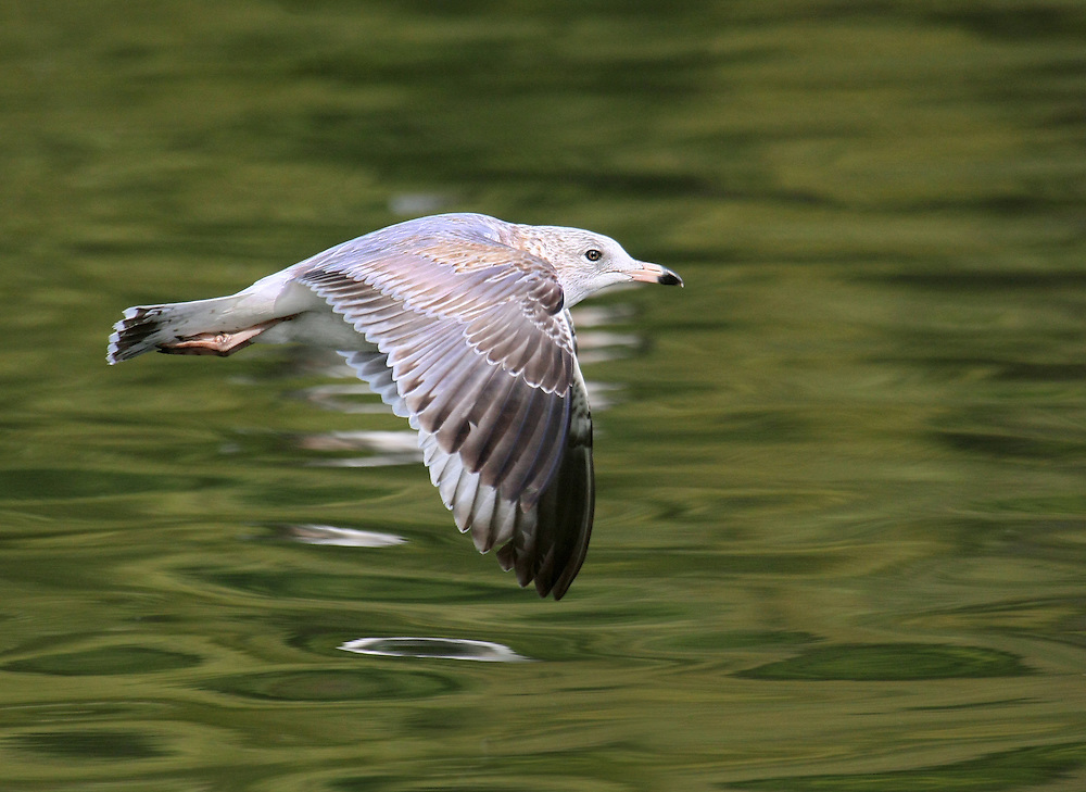 The next 17 photos are of ring billed gulls at the lake in Prospect Park.