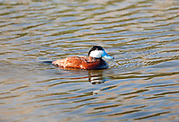 A Ruddy Duck male with water drops on its back this duck has been diving feeding on plants and insects under water.