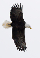 Bald Eagle (Halietus leucocephalus) in flight