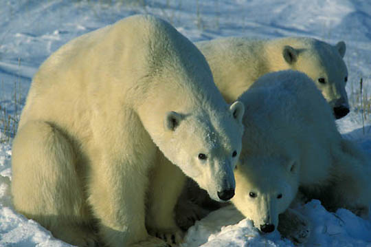 Polar Bear, (Ursus maritimus) Portrait of mother and cubs. Churchill, Manitoba. Canada.