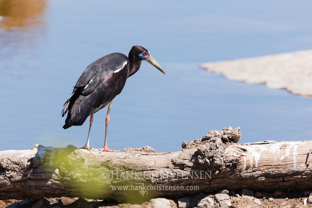 An abdim's stork perches on a log next to a waterhole, Etosha National Park, Namibia.