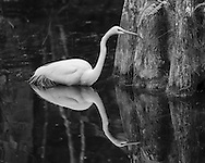 Great egret wading in pool at the base of a large cypress tree, with reflection, Big Cypress National Preserve, © 2007 David A. Ponton
