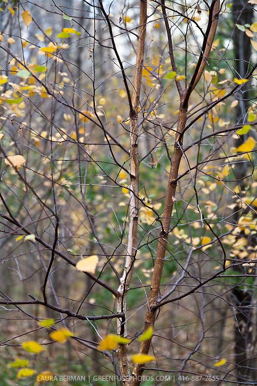 Paperbark birch ( Betula papyrifera) in autumn.