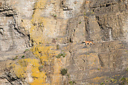 Mountain lion (Puma concolor puma) walking on a rock wall with the first rays of sun. After a night hunting in the valley, the puma was looking a higher place to spend the day.<br /> Torres del Paine National Park, Chile.<br /> Canon EOS 1-DX+EF 500mm f/4L IS II USM+ 1.4x III<br /> 1/800 s at f/5.6 <br /> ISO 500<br /> 4989x3326 (originally 5184x3456)<br /> No post-processing beyond lens profile and minor dust spotting, global saturation, exposure adjustment, noise reduction, sharpening and cropping.