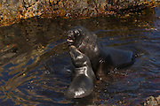Southern Sea Lions (Otaria flavescens) Female and Sub-dominant male.<br /> Steeple Jason. FALKLAND ISLANDS.<br /> These sea lions are relatively large, stocky animals. The males are one of the most distinctive of all the sea lions. Dwarfing the females in size, they have an enormous head and neck, complete with an extensive mane.<br /> RANGE: Fairly widely distributed with about 60 breeding sites on the Falklands. Also Atlantic and Pacific coasts of South America from Peru south.<br /> They prefer tussock islands where they haul out during non-breeding season but breed on rocky beaches or slabs of broken rock. They feed mainly on octopus and squid with some Lobster Krill and fish. They usually feed in kelp beds and usually at night. They also prey on penguins as they come into shore - particularly Gentoo penguins and it has also been recorded that rogue bulls have come ashore and killed Elephant Seal pups and badly mauled weaners.<br /> <br /> The Jasons (Grand and Steeple) are a chain of islands 40 miles (64km) north and west off West Falkland towards Patagonia. Steeple is 6 by 1 mile (10Km by 1.6km) in size. From the coast the land rises steeply to a rocky ridge running along the length. <br /> This island has the largest Black-browed Albatross colony in the world with 113,000. The island is owned by WCS (Wildlife Conservation Society)
