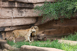two lions at The Riverbanks Zoo in Columbia, SC rubbing heads together