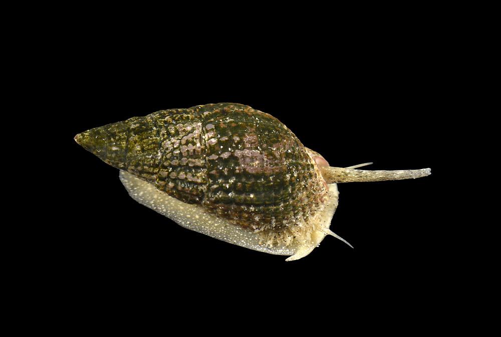 Netted Dog Whelk - Nassarius reticulatus