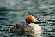 A side profile of the elegant Australasian Crested Grebe at Lake Wanaka, New Zealand.
