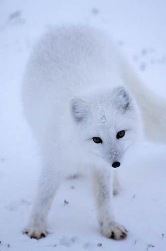 Arctic Fox (Alopex fulva) Portrait. Churchill, Manitoba. Canada.