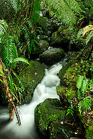 Richard Furhoff 100101_NewZealand_DSC4571.tif.Moss, Ferns and Flowing Water, Fiordlands National Park. New Zealand..