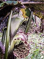 Annapurnas Cobra Lily.