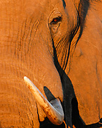 Closeup of an elephant's eye and tusk near sunset, Garonga Camp, Makalali Conservancy, South Africa.