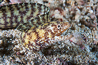 Moray Eel hunting on the seafloor<br /> <br /> Shot in Indonesia