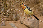 Red-and-yellow Barbet, Trachyphonus erythrocephalus, from Samburu NP, Kenya.