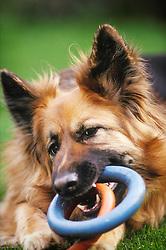 Alsatian, German shepherd dog, chewing rubber ring toys, England, UK.