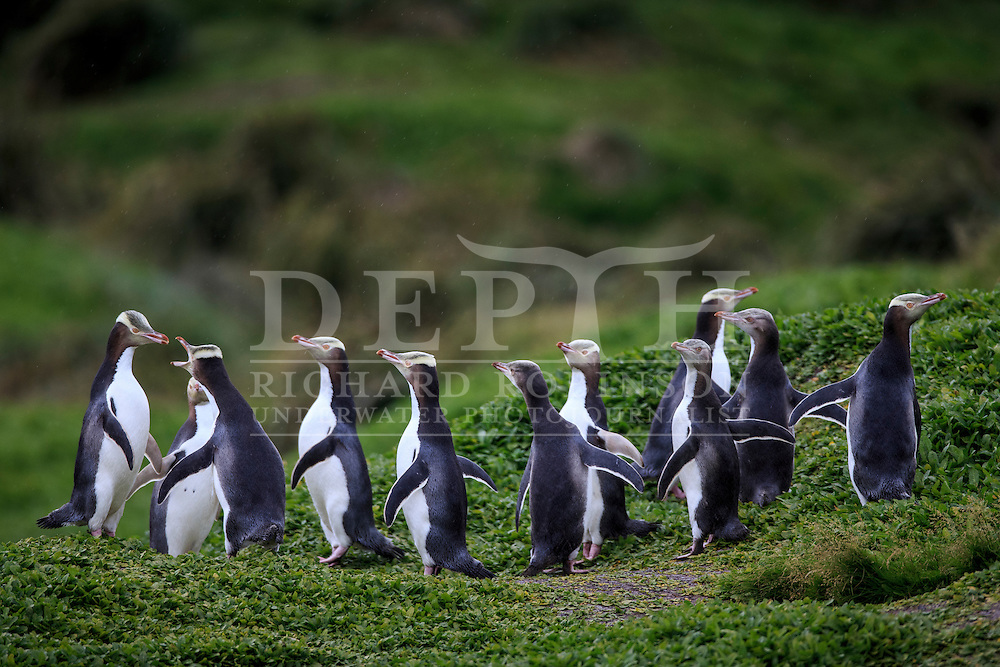 Megadyptes antipodes (Yellow eyed penguin) sea, Sandy Bay, Enderby Island, Auckland Islands, New Zealand.<br /> 14 January 2016<br /> Photograph Richard Robinson &copy; 2016