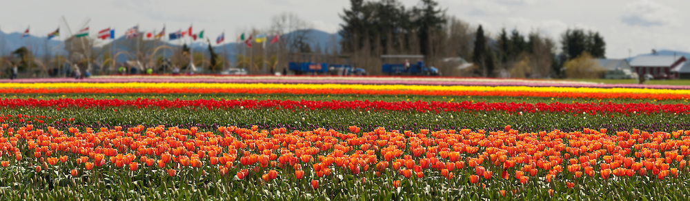 Photograph of Skagit Valley tulip field near LaConner, Washington USA