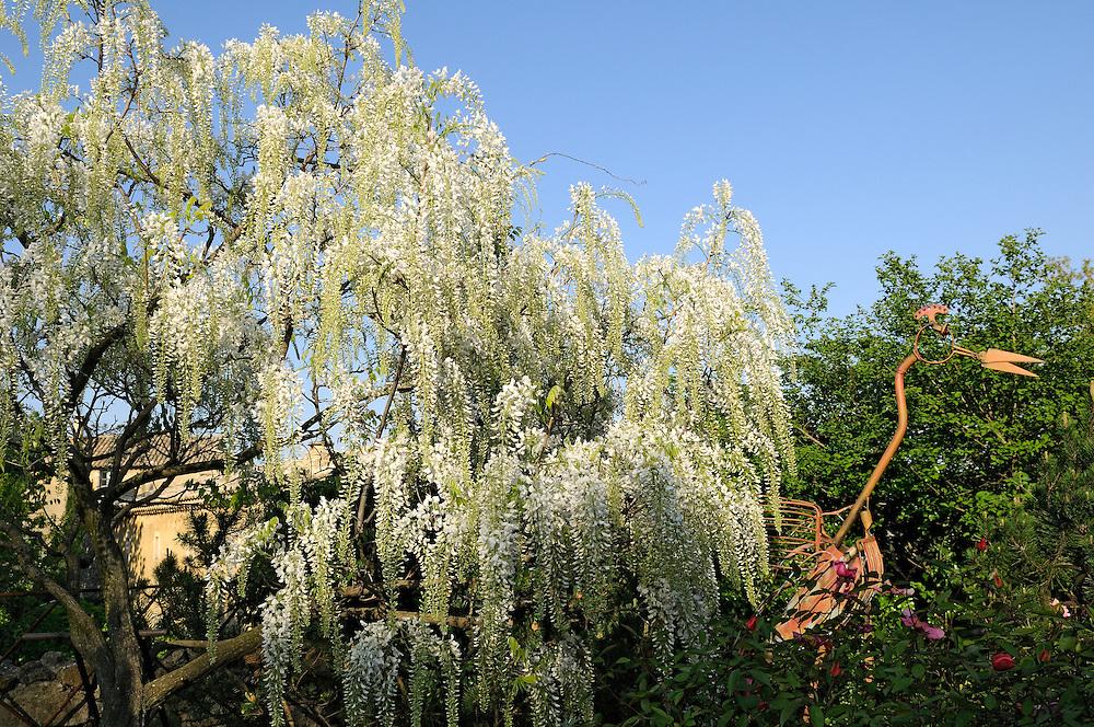 France, Languedoc Roussillon, Gard, Saint-Julien-de-Peyrolas, jardin des mille et une fleurs, glycine japonaise