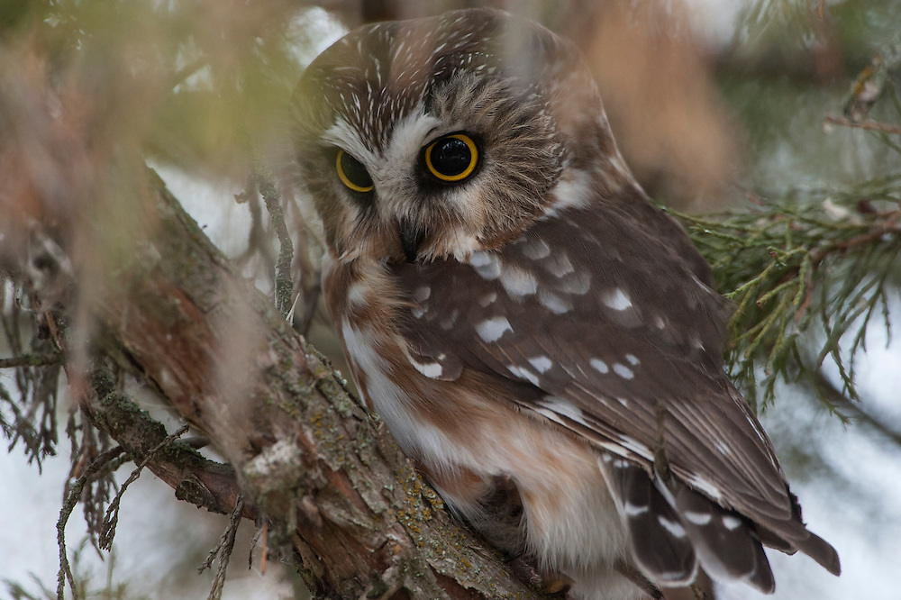 Northern Saw-whet owl (Aegolius acadicus), Missoula, Montana